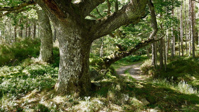 Oaks of Achilty Oak Wood