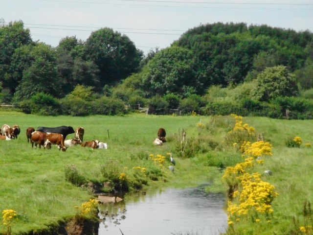 Cows beside the mill stream