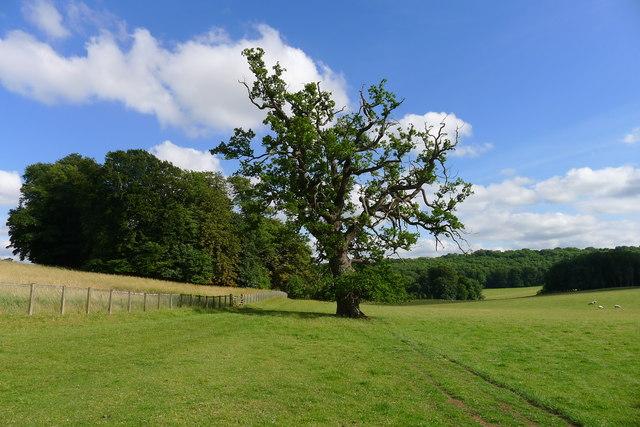 Solitary oak, Dodington Park