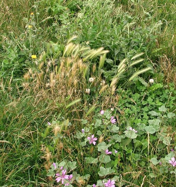 Wall Barley  (Hordeum murinum)