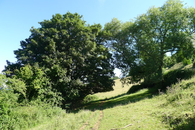 Sycamore (left) and ash (right) on the Cotswold Way north of Old Sodbury