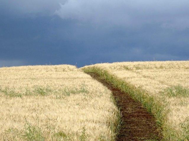 Footpath through ripe barley