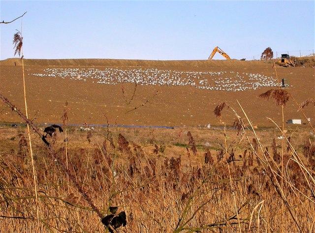 Gulls on the Pebsham tip