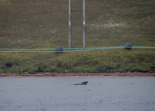 Pilot Whale (Globicephala melas), Basta Voe