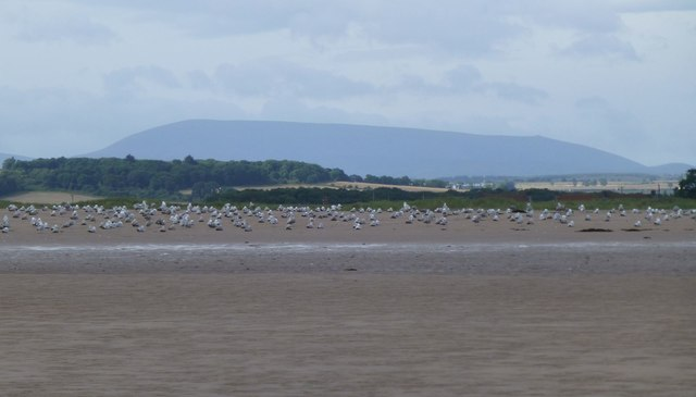 Gulls on the beach at Goswick
