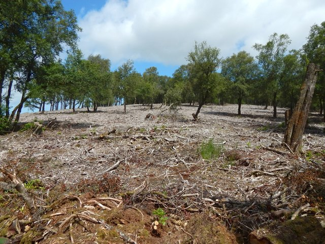 Black Wood: area cleared of Rhododendrons