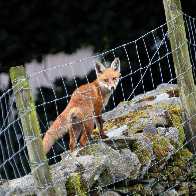 A Lakeland fox