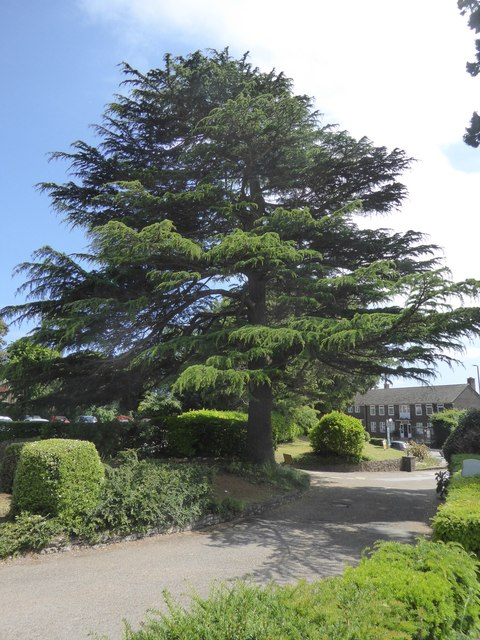 Cedar by the drive of Buckerell Lodge Hotel, Exeter
