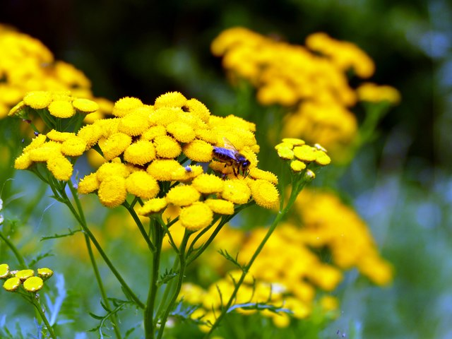 Bee on Common Tansy