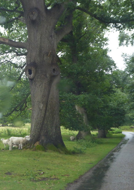 Sheep sheltering from the rain in the parkland at Chirk Castle