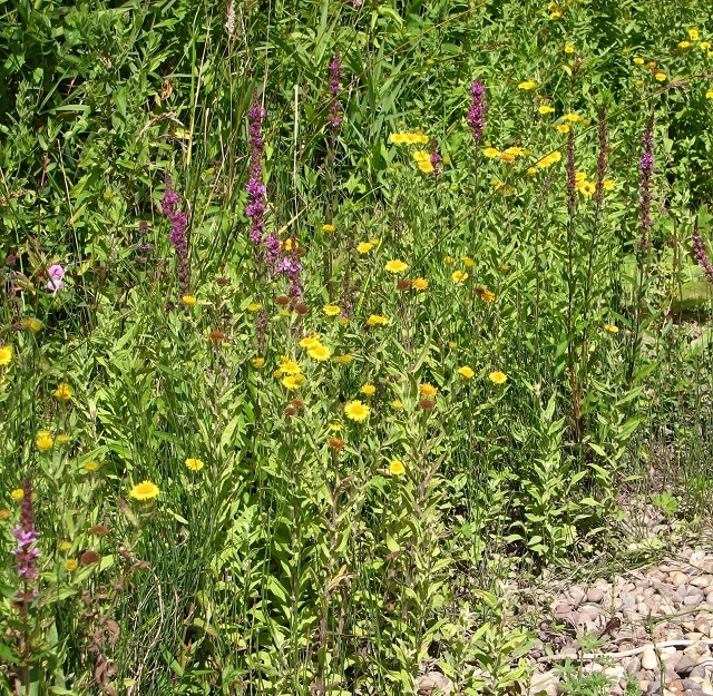 Fleabane and Purple loosestrife