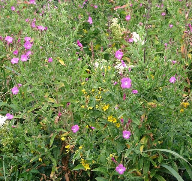 Wild flowers growing in Beerlick's Loke