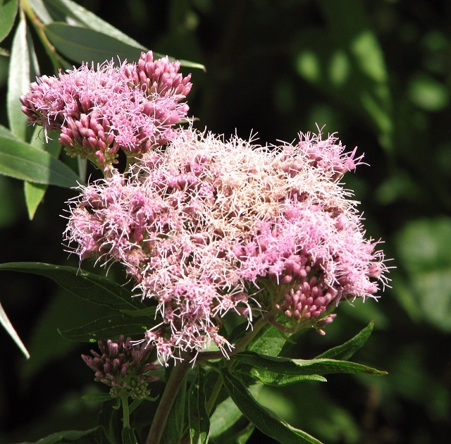 Hemp agrimony (Eupatorium cannabinum) - flower