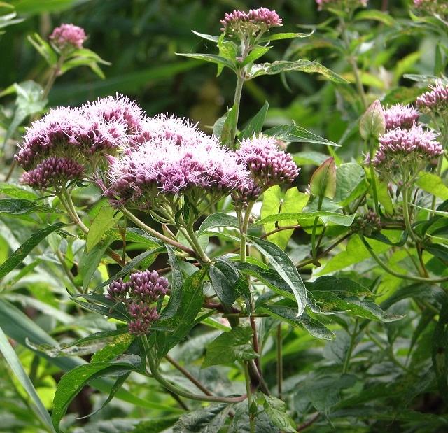Hemp agrimony (Eupatorium cannabinum) - flowers