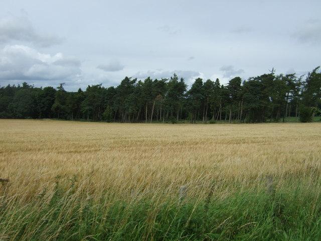 Cereal crop and woodland near West Saltoun