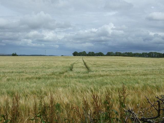 Tracks in crop field near East Saltoun