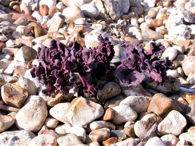 Young leaves of sea kale, Church Norton shingle beach