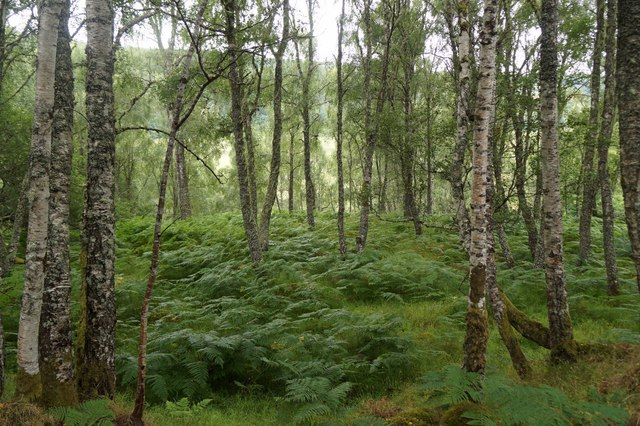 Birch woodland at Fasnakyle