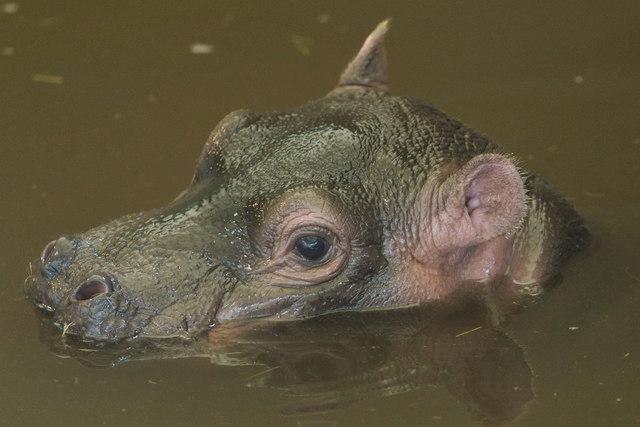 Baby Hippopotamus, Whipsnade Zoo