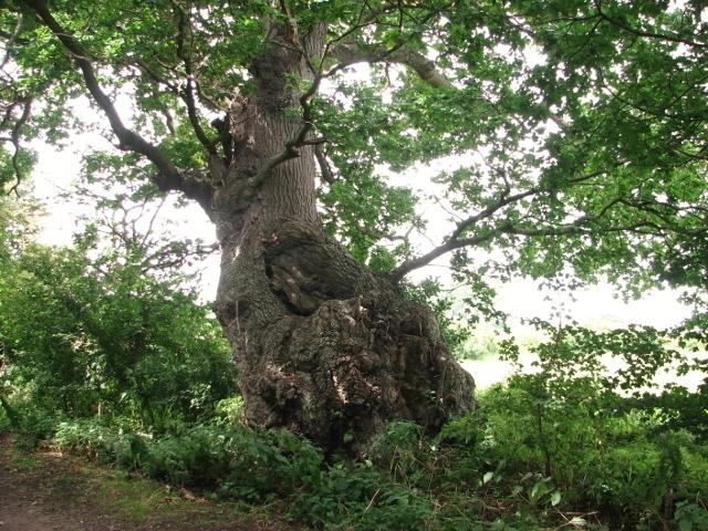 Ancient English oak in Peascod Lane