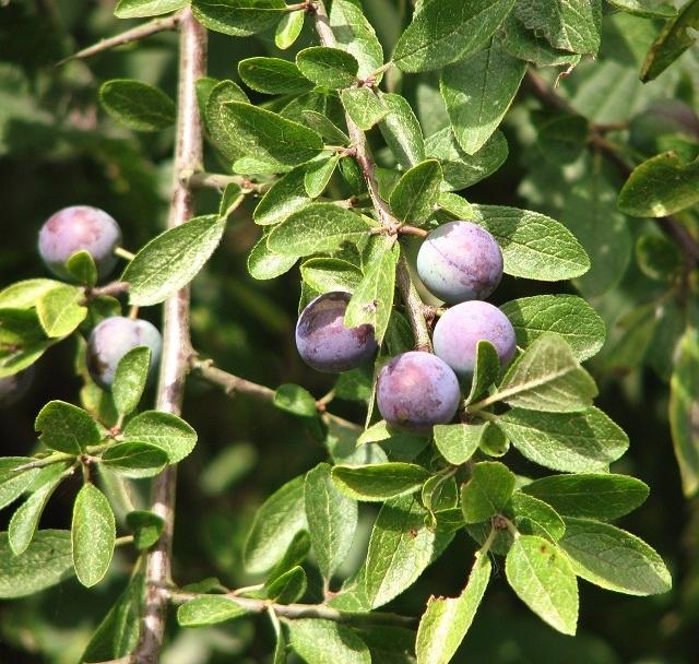 Blackthorn or sloe (Prunus spinosa)
