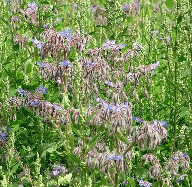 Flowering borage