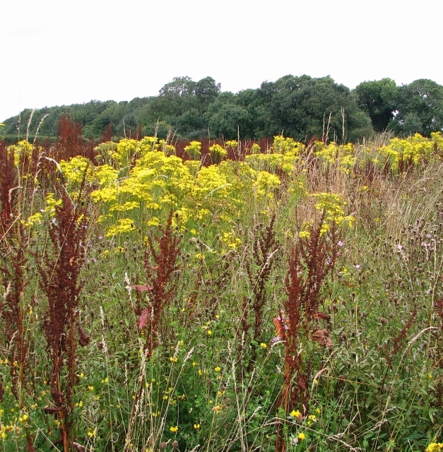 Ragwort and dock in profusion