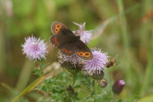 Scotch Argus (Erebia aethiops), Struy