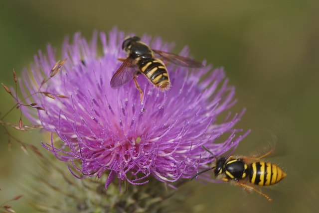 The hoverfly Sericomyia silentis with a wasp, Struy
