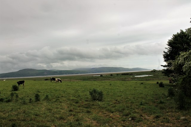 Cattle by the Harbour Road
