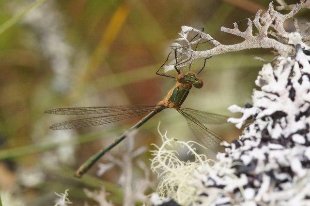 Emerald Damselfly (Lestes sponsa), Coire Loch, Glen Affric