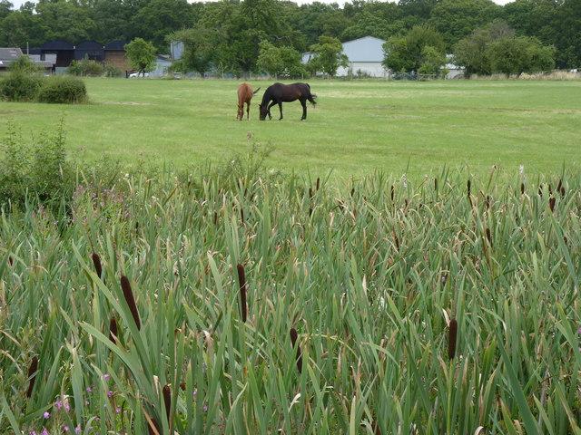 Bulrushes and horses, Saldons Farm