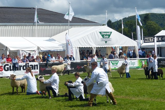 In the sheep judging ring, Royal Welsh Show