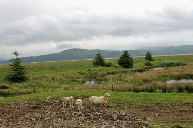 Wigtown Sheep