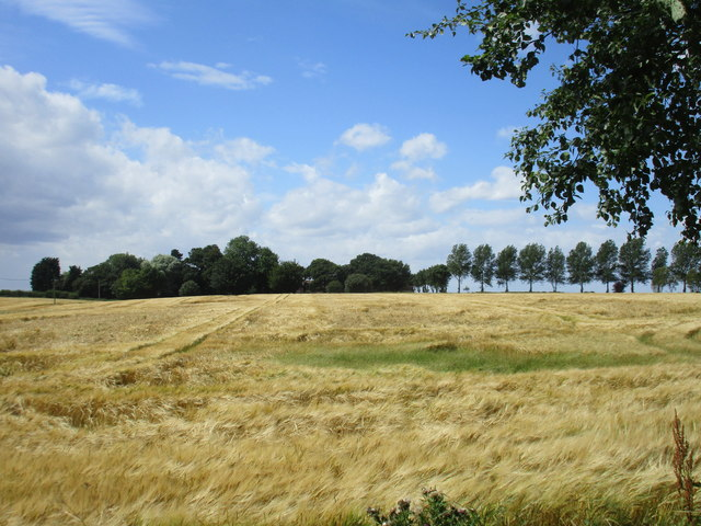 Barley field at Mill Hill