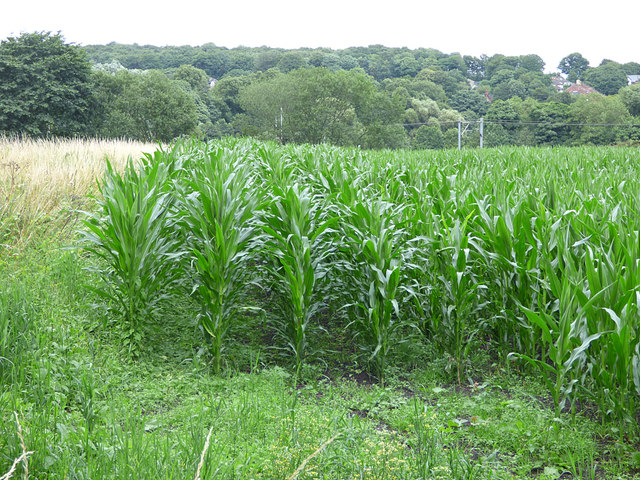 Maize in the Aire Valley