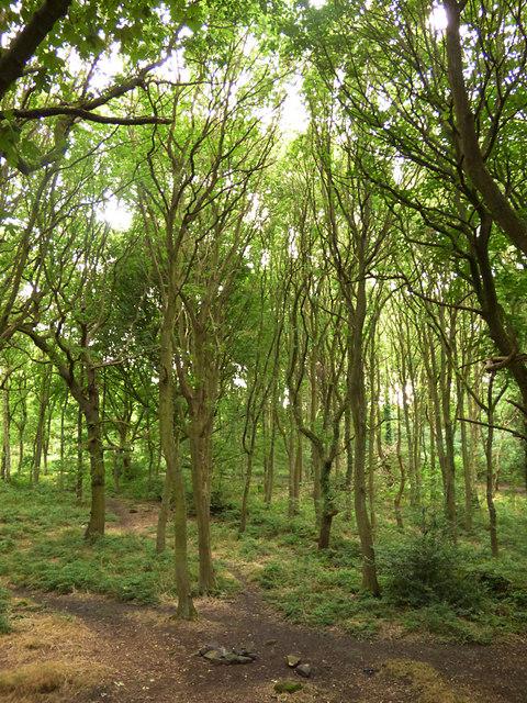 Trees in Bramley Fall woods