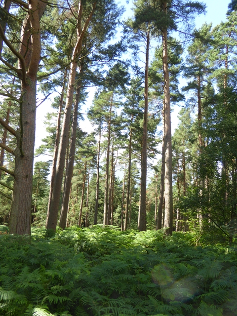 Scots pines near Wester Byers