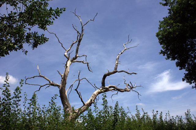 Dead tree near Chilmead Farm
