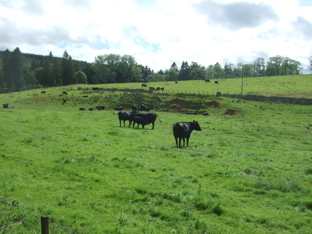 Cattle near Whitchester Lodge