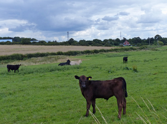 Cattle and farmland next to Abbey Farm
