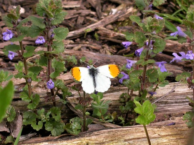 Male orange-tip butterfly visiting ground ivy flowers