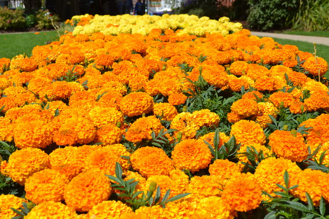 Marigolds at Argents Mead