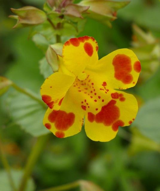 Hybrid Monkeyflower