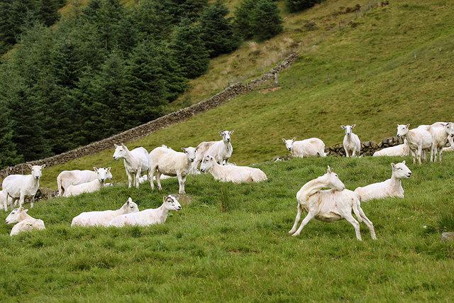 Sheep at Birkhill