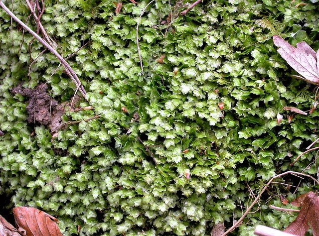 Shining hookeria moss, Pond Wood, Brede