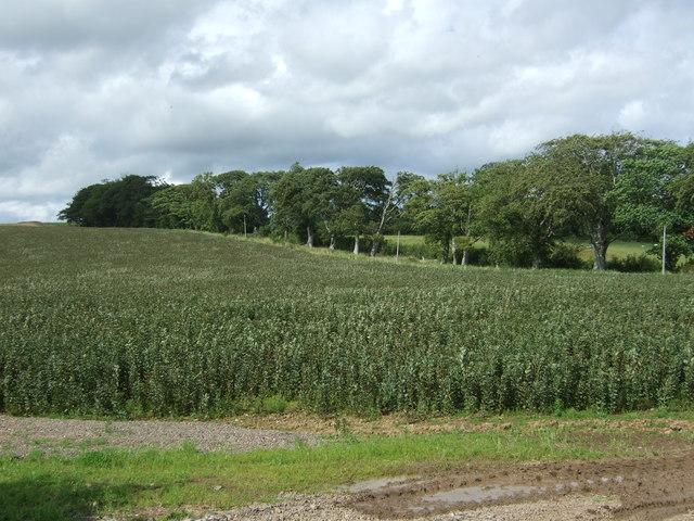 Crop field near Cruxfield