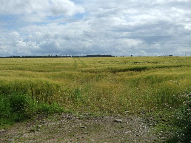 Cereal crop east of Marden