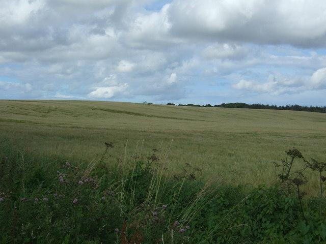 Cereal crop near Lintlaw