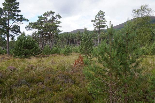 Open woodland in Glen More